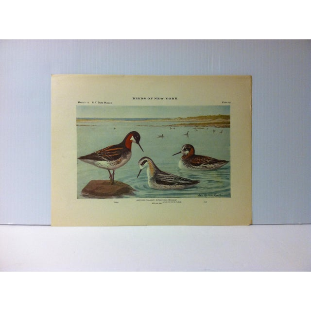 """1925 """"Northern Phalarope"""" the State Museum Birds of New York Print For Sale - Image 4 of 4"""