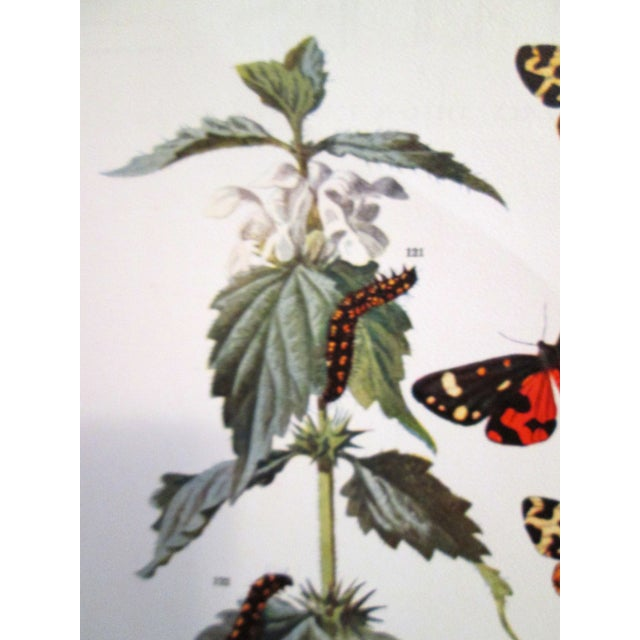 1903 Butterfly & Botanical Prints - Pair - Image 6 of 8