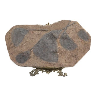 Crinoid Fossil From Morocco For Sale