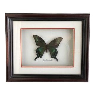 Framed Butterfly Specimen For Sale
