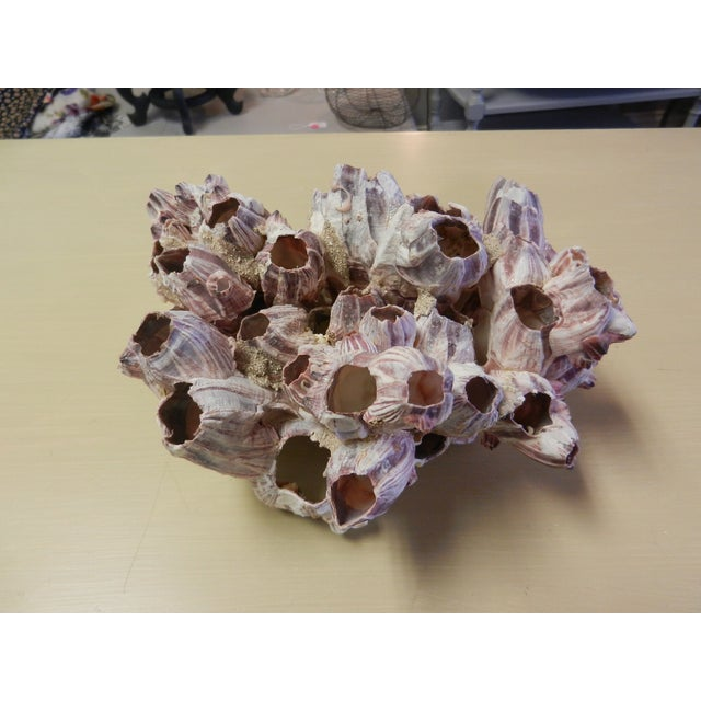 Natural Barnacle Cluster - Image 2 of 4
