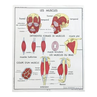 """Vintage French Educational Double-Sided """"Muscles / Spine / Skeletal Hygiene"""" School Poster Chart For Sale"""