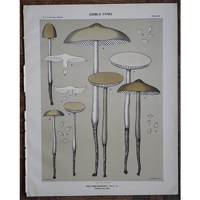 Antique Gray Mushroom Chromolithograph - Image 3 of 3