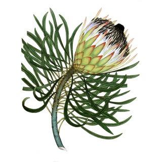 "Victorian Botanical Protea Flower Print #4 - 24"" X 30"" Unframed"