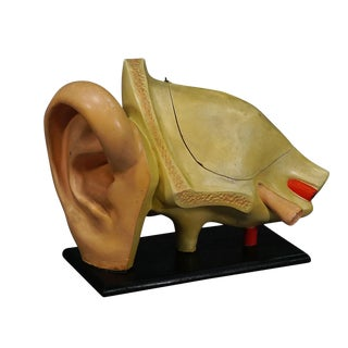 Antique Teaching Aid Modell of an Ear - Somso Ca. 1900 For Sale