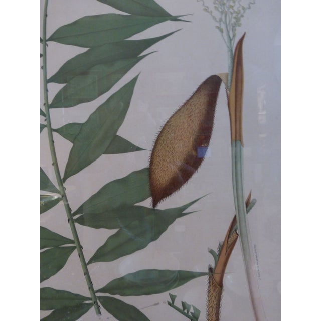 1903 Palm Engravings by Joao Barbosa Rodrigues - Image 7 of 8