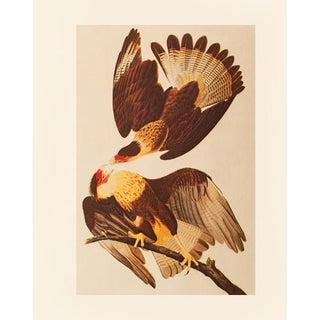 1960s Brazilian Caracara by Audubon, Vintage Farmhouse Style Print For Sale