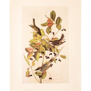 Black-Poll Warbler by John James Audubon, 1966 Vintage Print For Sale