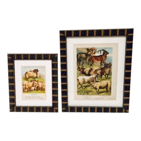 Vintage Sheep Ram Prints in Carved Frames - A Pair For Sale
