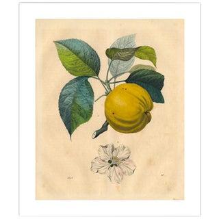 Antique 'Apple Branch' Archival Print For Sale