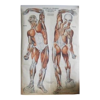 1918 Antique Pull Down Muscle Anatomy Chart For Sale