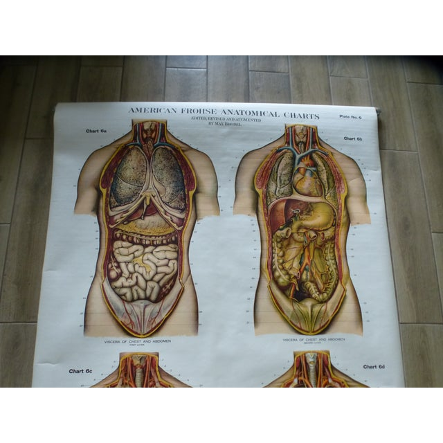 Industrial Vintage American Frohse Torso Anatomy Chart For Sale - Image 3 of 7