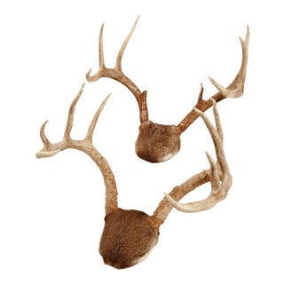 Mounted White-tailed Deer Antlers - A Pair For Sale