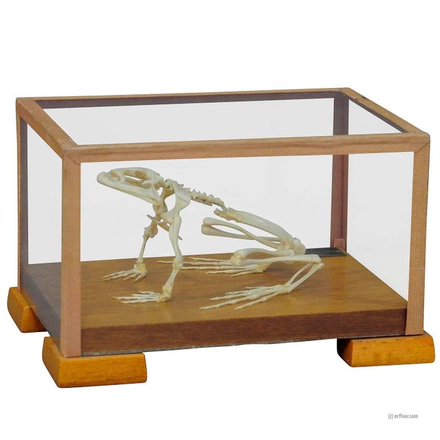 Vintage Frog Skeleton Model For Class Circa 1950 For Sale - Image 6 of 6
