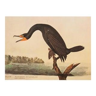 1966 Audubon XL Vintage Print of Florida Cormorant, 1966 For Sale