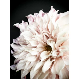 "Christina Fluegge ""Dahlia 15"" Photographic Print For Sale"