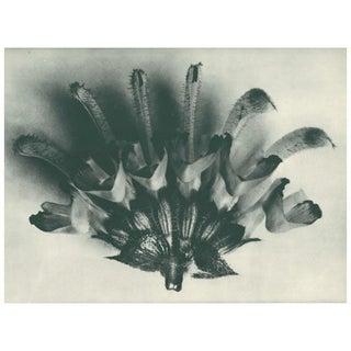 1928 Karl Blossfeldt Original Period Photogravure N62 of Salvia Argentea Preview
