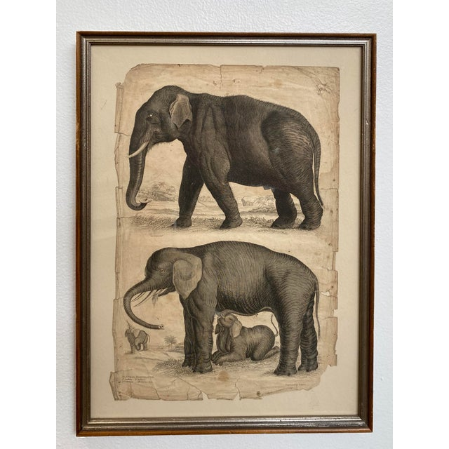 Paper 1890s Scientific Study of Elephants Print, Framed For Sale - Image 7 of 7