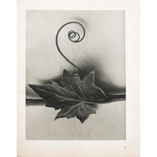 1935 Karl Blossfeldt Two-Sided Photogravure N46-45 For Sale