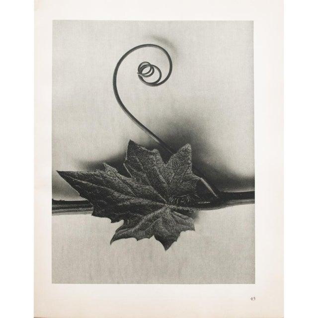 1935 Karl Blossfeldt Two-Sided Photogravure N46-45 For Sale