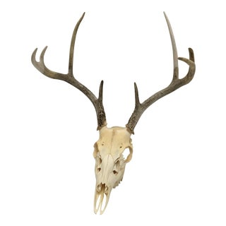 Natural 8-Point White Tail Deer Antlers and Skull