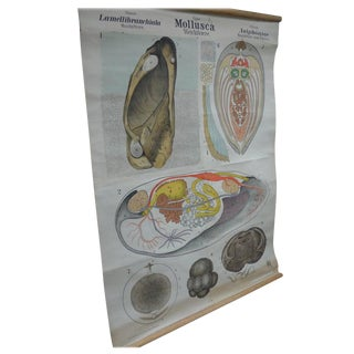 Midcentury Classroom Zoology Map Poster, Mollusk, Printed in Germany For Sale