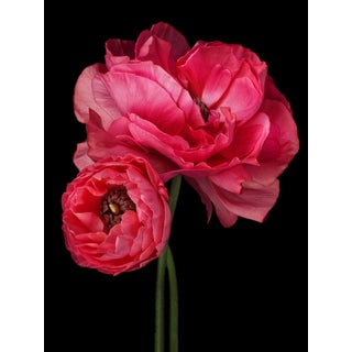 """Persian Buttercup"" Photographic Botanical Print by Debi Shapiro For Sale"