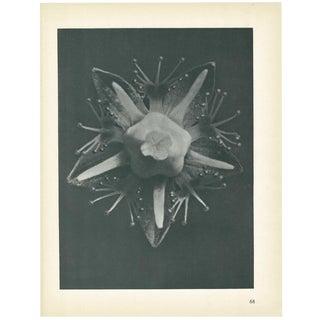 1928 Grass-Of-Parnassus by Karl Blossfeldt, Original Period Photogravure N68 For Sale
