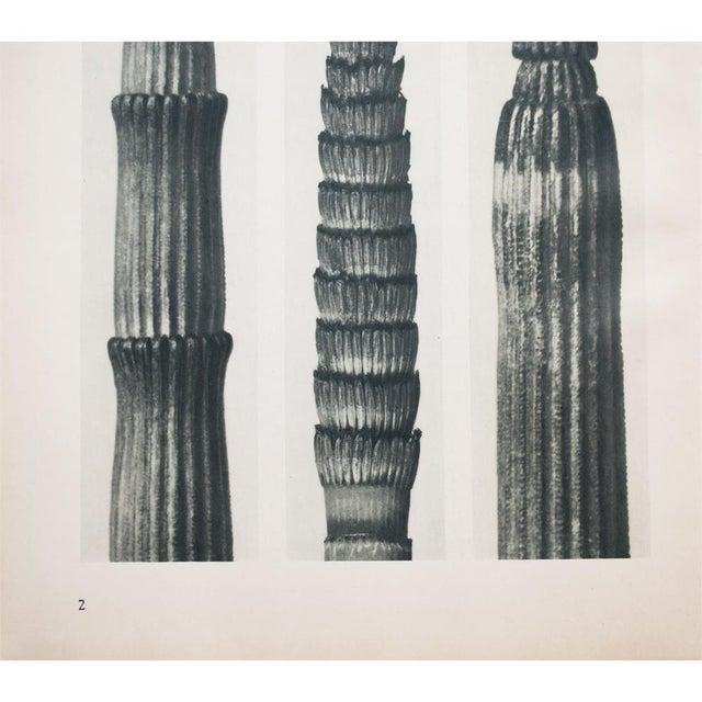 Karl Blossfeldt Two Sided Photogravure N1-2 - Image 7 of 9