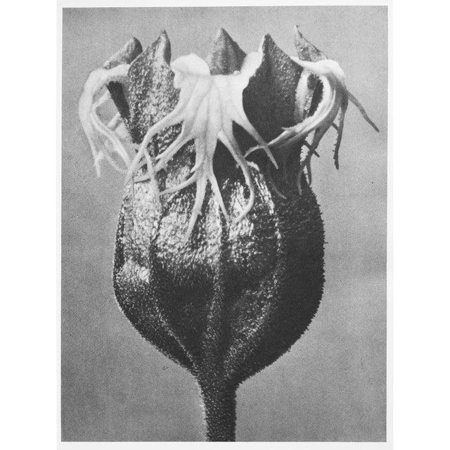 1935 Karl Blossfeldt Photogravure N74-73 For Sale