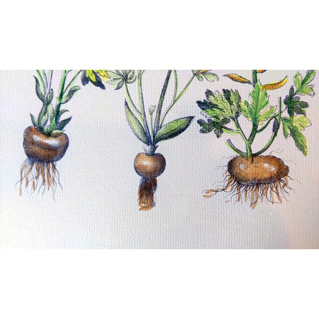 Botanical Print by Emanuel Sweert - Image 6 of 6