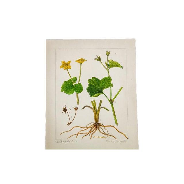 R.H. Greeley Marsh Marigold Botanical Watercolor For Sale