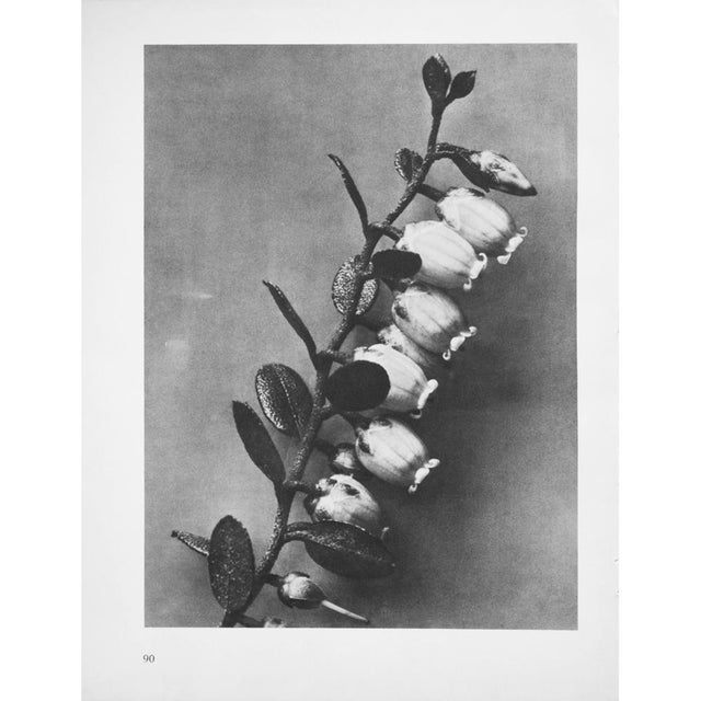 Printmaking Materials 1935 Karl Blossfeldt Photogravure N90-89 For Sale - Image 7 of 8