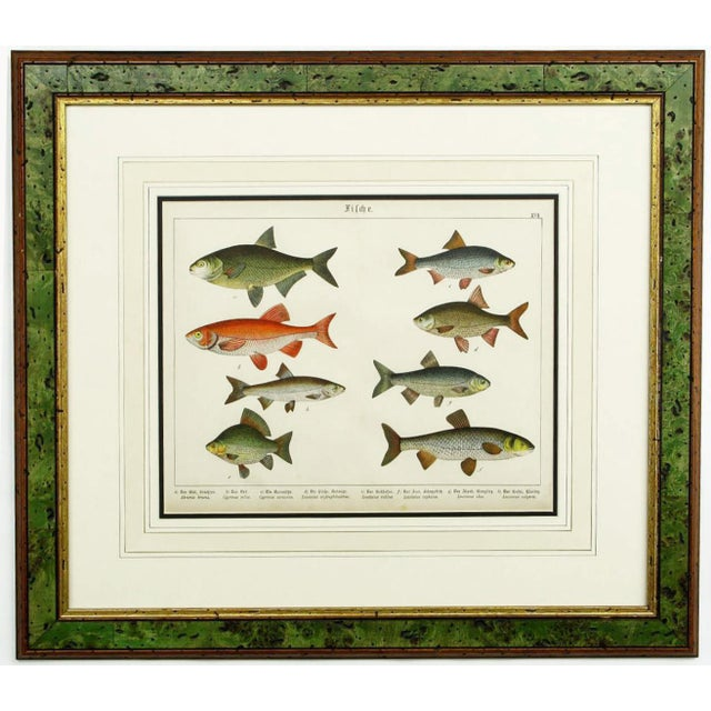 Set of three Schubert color lithographs of piscine sea life. Beautifully framed and matted in mahogany, green tinted pecky...