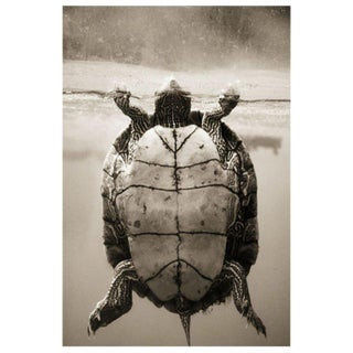 Texas Map Turtle–Graptemys versa by Henry Horenstein For Sale