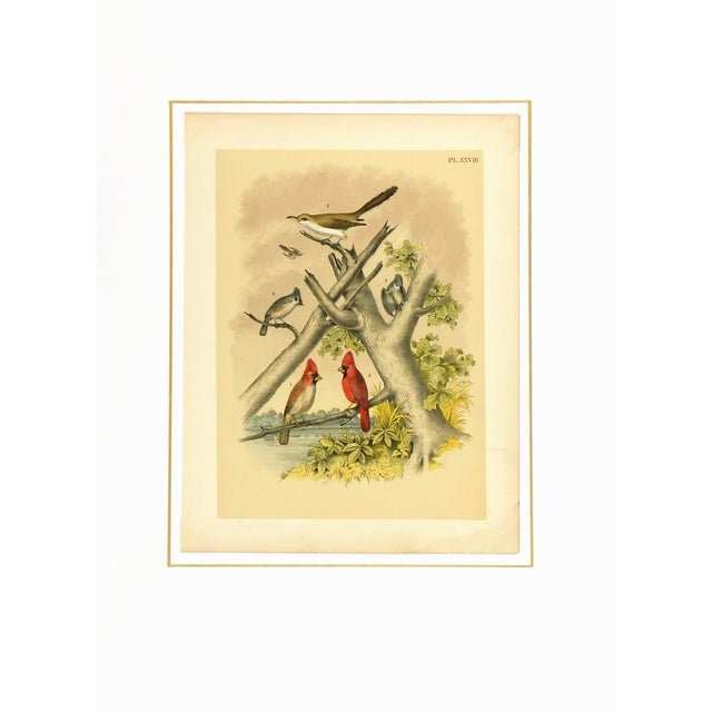 Antique Song Bird Print, 1881 - Image 3 of 3