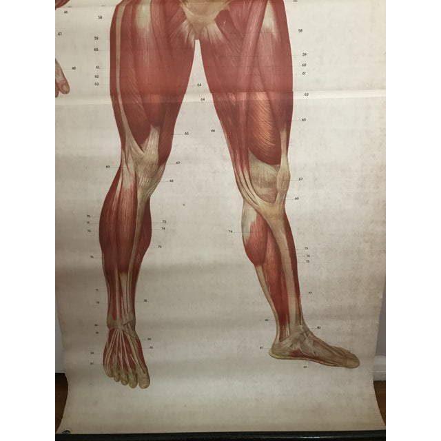 Human Muscle Chart For Sale - Image 4 of 5