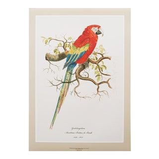 1590s XL Scarlet Macaw Print by Anselmus De Boodt For Sale