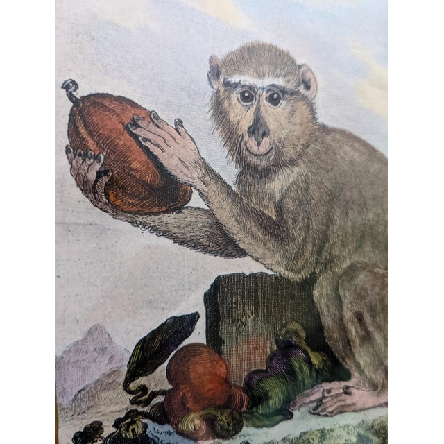 Wood Late 20th Century Hand-Colored Engravings of Monkeys After G. Buffon, Framed - Set of 4 For Sale - Image 7 of 13