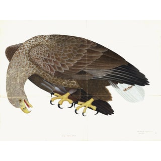 White-Tailed Eagle Plate 06 by Olof Rudbeck (Cfa-Wd) For Sale