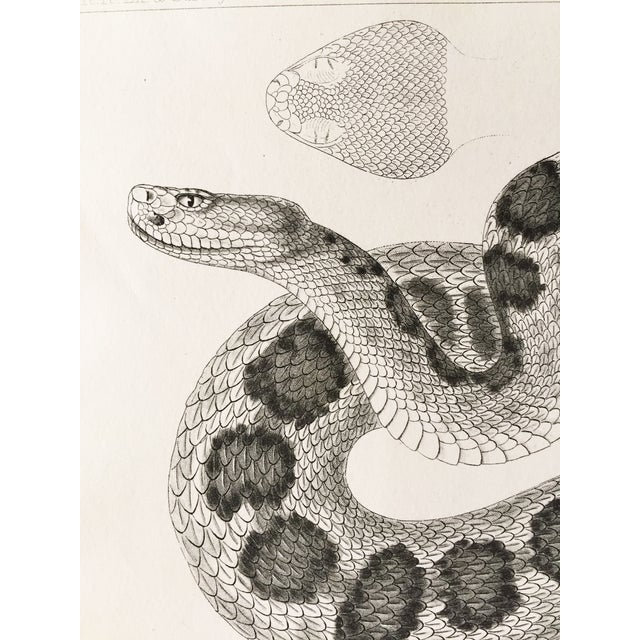 Antique California Rattlesnake Lithograph - Image 4 of 6