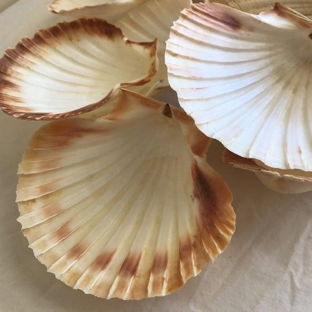 Natural Sea Shells - Set of 15 - Image 4 of 11