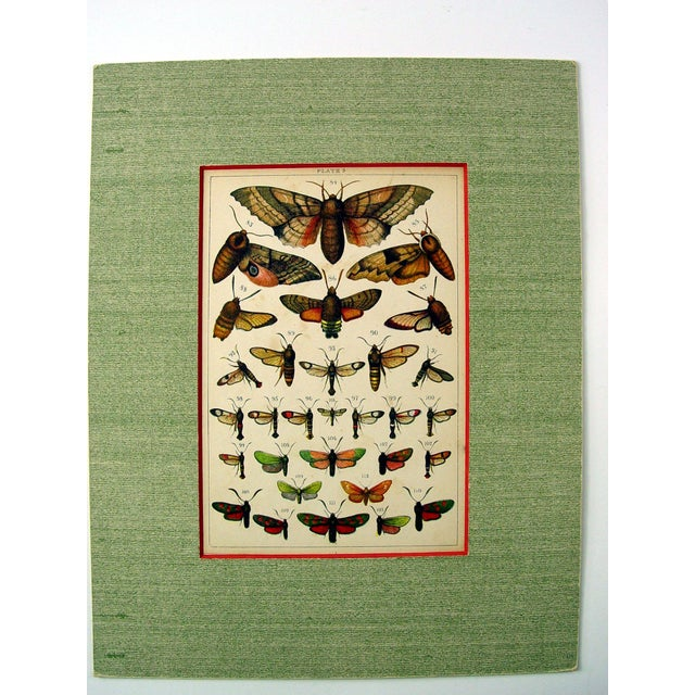 Antique Moth Lithograph - Image 2 of 3