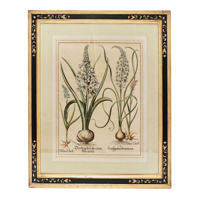 "17th Century Basil Besler ""Ornithogalum Spicatum"" Botanical Print For Sale"