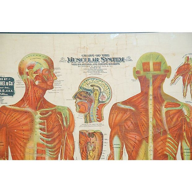 A stunning antique (not a reproduction) detailed medical chart Lithograph on linen of the muscular system published by Dr....