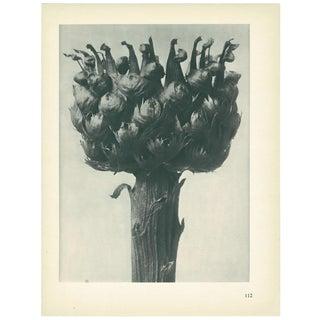 1928 Great-Headed Centaury, Original Period Photogravure N112 by Karl Blossfeldt For Sale