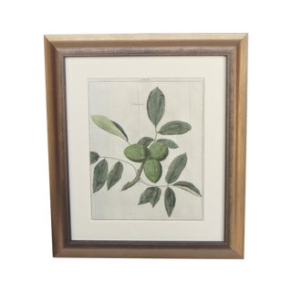 18th Century Botanical Fig Engraving For Sale