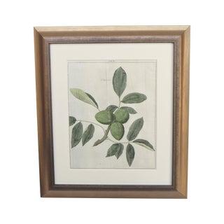 18th Century Botanical Fig Engraving