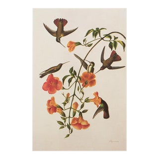 1960s Cottage Style Lithograph of a Black-Headed Mango by Audubon For Sale