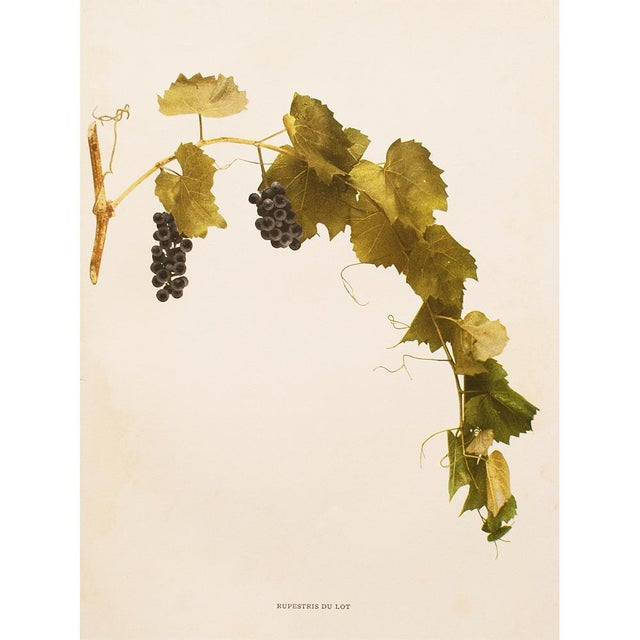 American Classical 1900s Original Grapes Photogravures by Hedrick - Set of 2 For Sale - Image 3 of 10
